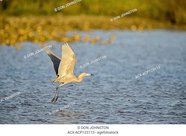 Reddish egret (Egretta rufescens) Hunting in shallow lagoon., Goose Island State Park, Texas, USA