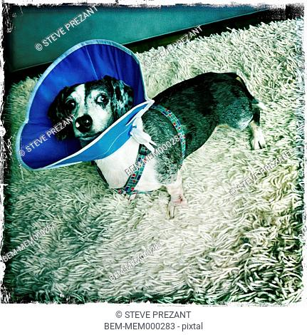 Dog wearing protective cone