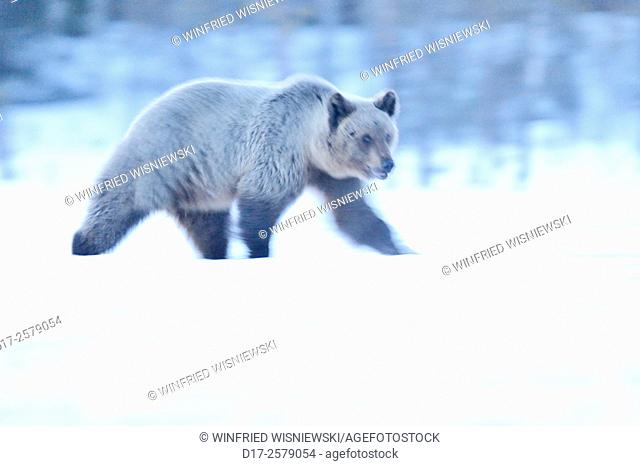 European brown bear (Ursus arctos) on a bog covered with snow. Blurred picture. Finland