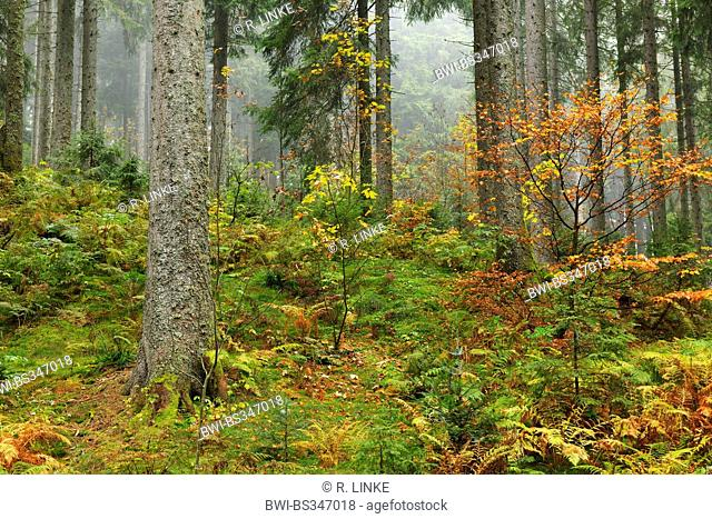 Coniferus Forest in Autumn, Black Forest, Germany, Baden-Wuerttemberg, Black Forest