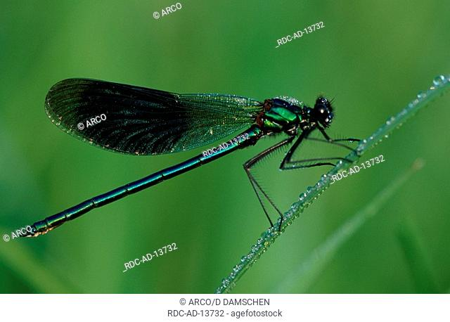 Banded Blackwing male biosphere preserve Elbe Lower Saxoy Germany Calopteryx splendens Agrion splendens side