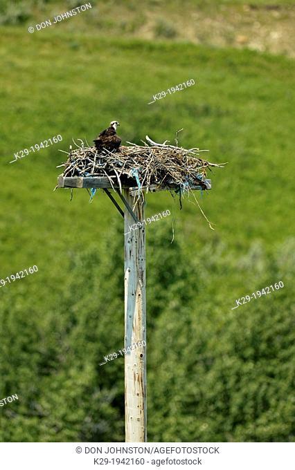 Osprey (Pandion haliaetus) Adult on stick nest on artifical platform, Pincher Creek, Alberta, Canada