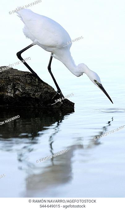 Little Egret (Egretta garzetta), Doñana National Park. Andalucia, Spain