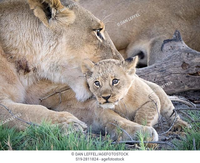 Botswana. Lioness and Baby