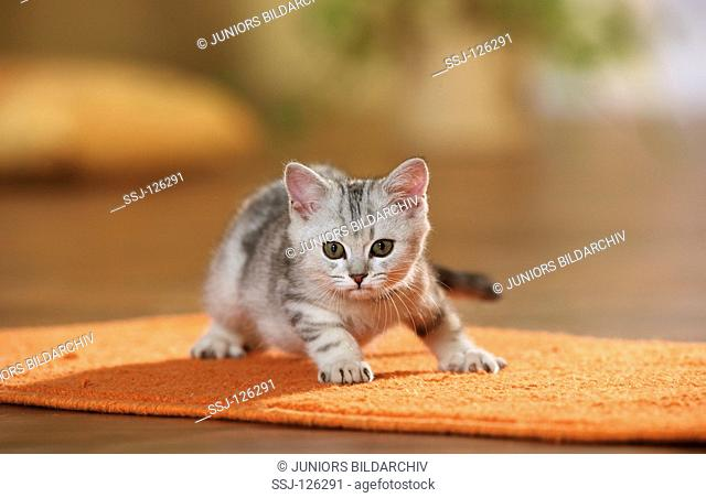 British Shorthair kitten on rug restrictions:Tierratgeber-Bücher / animal guidebooks