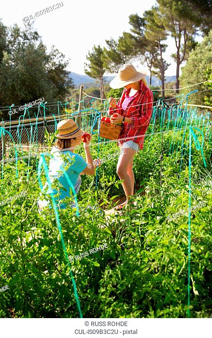 Two young female gardeners picking tomatoes on organic farm