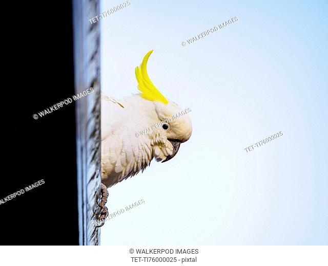 Sulphur-crested cockatoo (Cacatua galerita) perching on roof