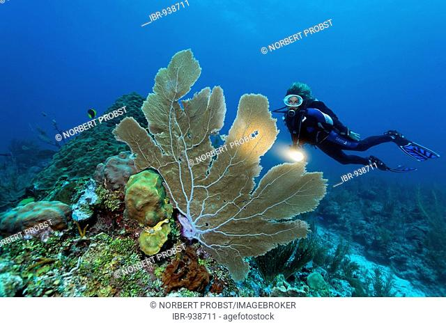 Scuba diver with a torch observing a Sea Fan coral (Gorgonia flabellum) on a coral reef, barrier reef, San Pedro, Ambergris Cay Island, Belize, Central America