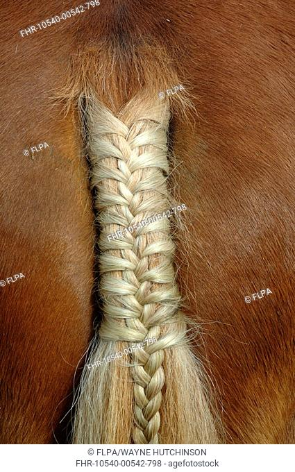 Horse, close-up of plaited tail, England