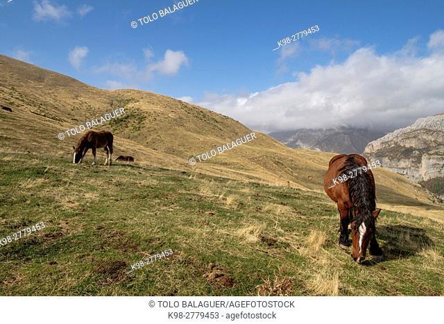 Herd of horses on the slopes of Punta de la Cuta, western valleys, Pyrenean mountain range, province of Huesca, Aragon, Spain