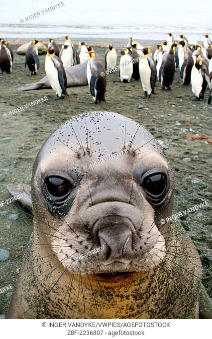 An Elephant Seal Pup stares into my camera on Sandy Bay, Macquarie Island, Antarctica