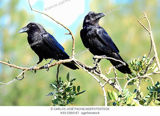 Raven (Corvus corax), Serra de Tramuntana, Majorca, Balearic Islands, Spain