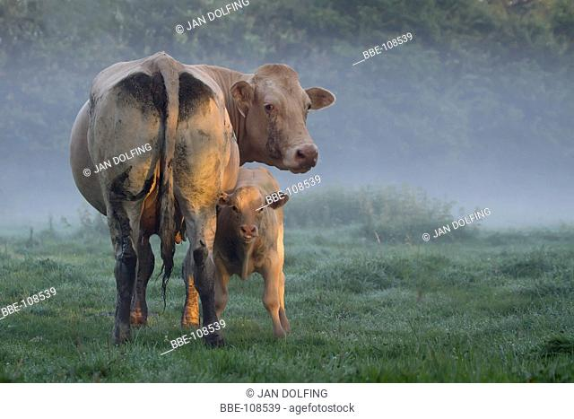 cow with her calf in early morning light on dew covered meadow