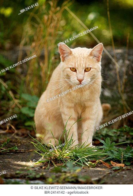 Light red tabby cat, sitting on a path
