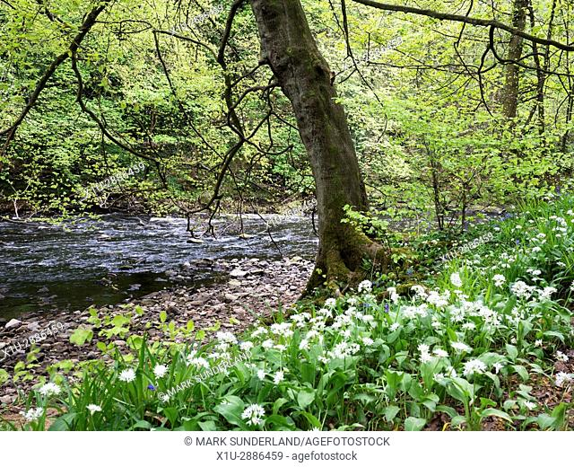 Wild Garlic and Spring Tree by the River Nidd in the Nidd Gorge near Knaresborough North Yorkshire England