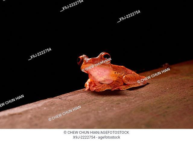 Frog of borneo, Harlequin Tree Frog, Phacophorus pardalis, national park, sarawak, malaysia, borneo