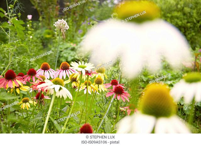 Close up of white and yellow echinacea flowers in herb garden