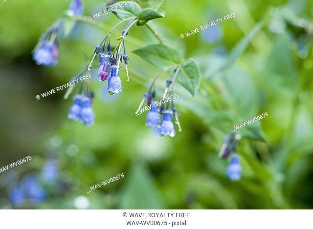 Dew drops on wildflowers, Olympic National Park, Washington, USA