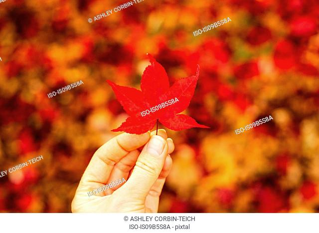 Woman holding red Japanese Maple leaf (Acer palmatum), close-up
