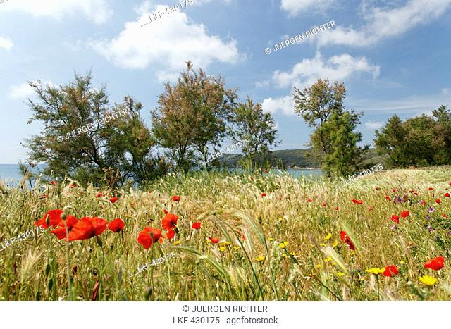 Coastal landscape with poppies, Golfo di Baratti, near Populonia, Mediterranean Sea, province of Livorno, Tuscany, Italy, Europe