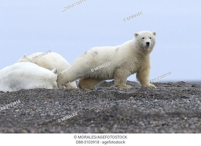 United States, Alaska, Arctic National Wildlife Refuge, Kaktovik, Polar Bear( Ursus maritimus ), old cub along a barrier island outside Kaktovik, Alaska
