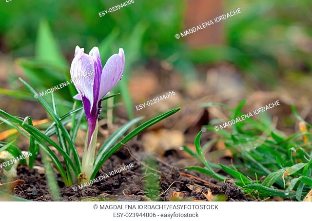 Crocus flowers and drops in spring time