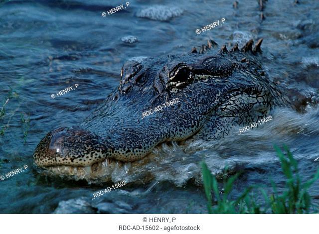 American Alligator hunting Texas USA Alligator mississippiensis