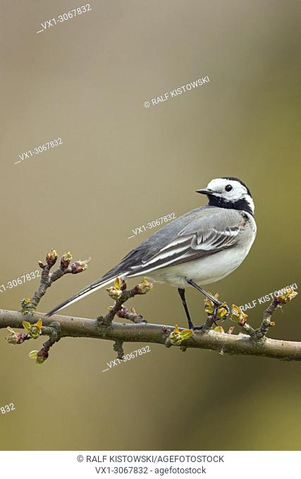 Pied Wagtail (Motacilla alba), adult in breeding dress, perched, sitting on a twig of a cherry tree, watching back, wildlife, Germany, Europe