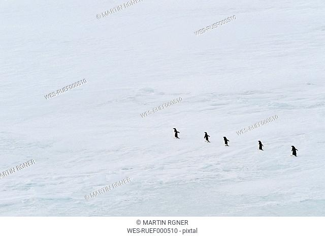 Antarctic, Antarctic Peninsula, Weddell Sea, Row of adelie penguins walking on park ice