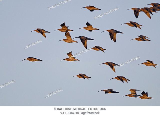 Huge flock of Eurasian curlews ( Numenius arquata ) flying through in nice late sunlight, wildlife, Europe