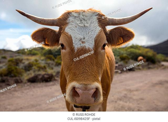 Portrait of cow on dirt track, Reunion Island