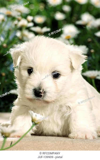 Westhighland White Terrier - puppy lying in front of flowers