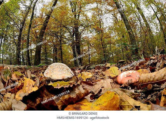 France, Territoire de Belfort, Eloie, forest, mushrooms, russulas and amanitas