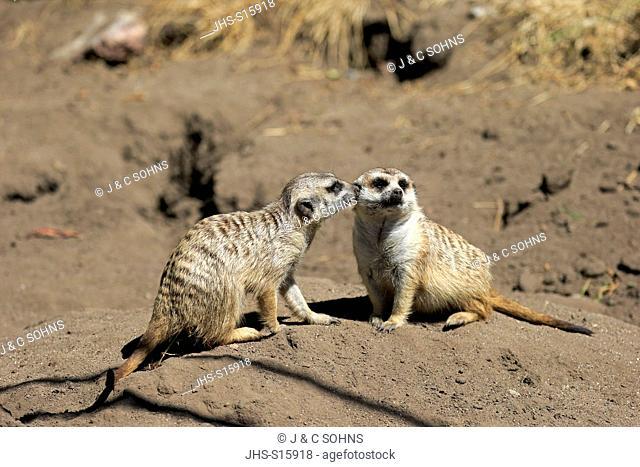 Suricate, (Suricata suricatta), couple social behaviour, Little Karoo, Western Cape, South Africa, Africa