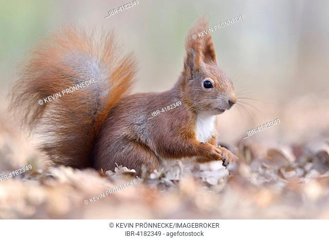 Eurasian red squirrel (Sciurus vulgaris) sitting in old leaves, Saxony, Germany