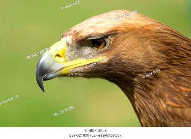 Close-up of sunlit golden eagle head staring