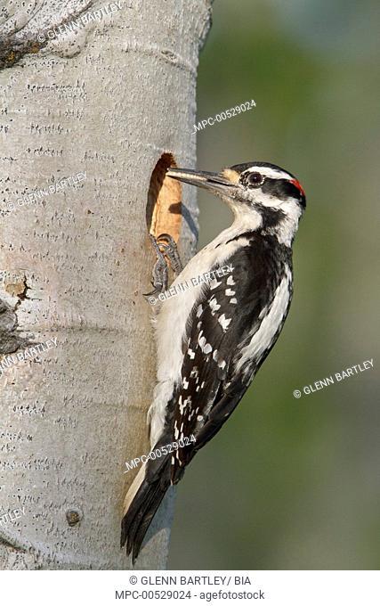 Hairy Woodpecker (Picoides villosus) male, British Columbia, Canada
