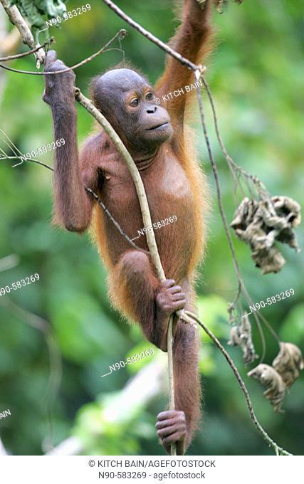 Orphan orang-utans at nursery. Sepilok Orang Utan Sanctuary, Sandakan, Borneo, Malaysia