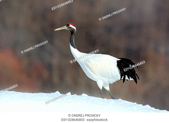 Red-crowned crane, Grus japonensis, white bird with snow, winter
