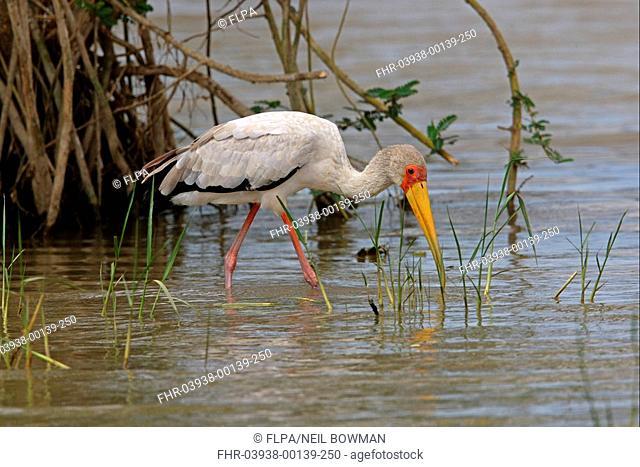 Yellow-billed Stork Mycteria ibis adult, feeding in shallow water, Lake Koka, Oromia, Ethiopia, april