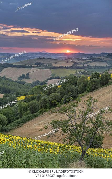 Sant' Isidoro, Monterubbiano, provinve of Fermo, Marche, Italy, Europe. Typical fields of the Marche at sunset, with cereal cultivation and sunflower fields