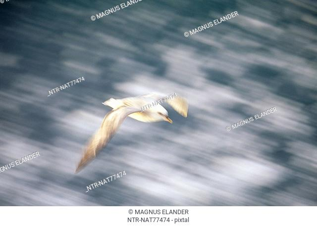 A fulmar flying