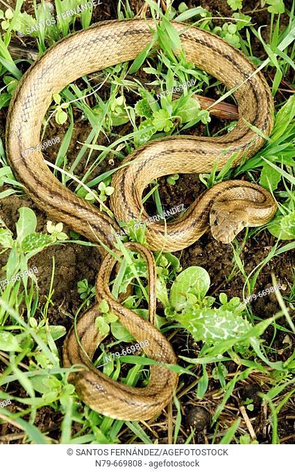 Ladder snake (Elaphe scalaris). Puertollano, Ciudad Real, Spain