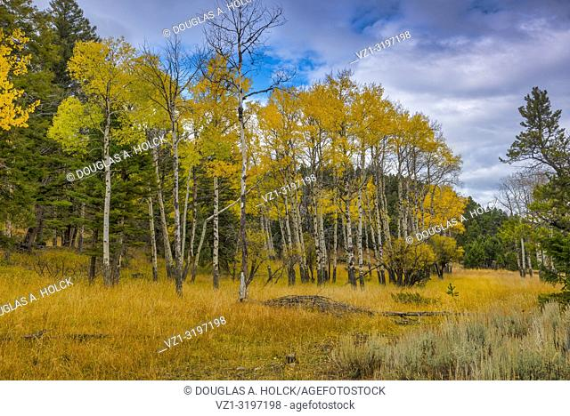 Fall Aspen above Mammoth Hot Springs in Yellowstone National Park, Montana, USA