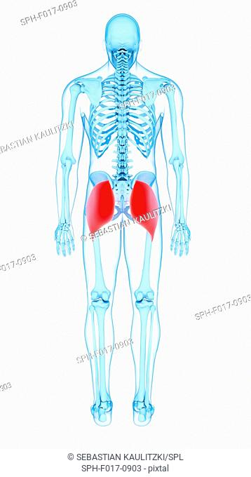 Illustration of the gluteus maximus muscles