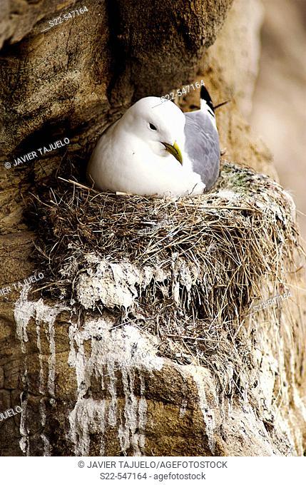 Bird on nest. Rissa trydactila, Vadso, Noruega