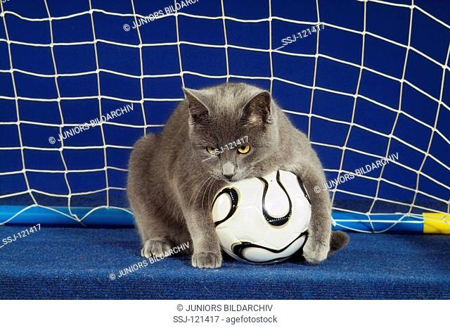 Carthusian cat - lying on ball in goal