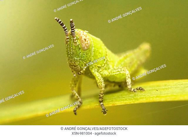Grasshopper, Portugal