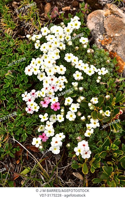 Androsace villosa is a perennial herb native to south Europe and west Asia mountains. This photo was taken in Somiedo Natural Park, Cantabrian Mountains