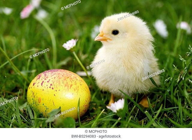 chick with an Easter egg in a meadow